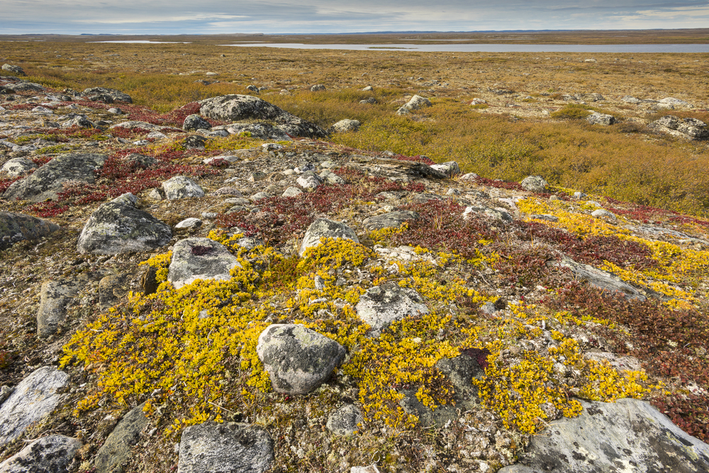 Arctic willows in fall colors: Nunavik region, Canada
