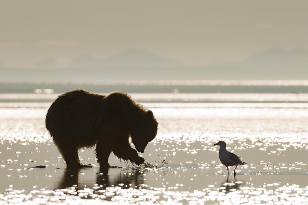 Brown bear clamming: Lake Clark NP, AK