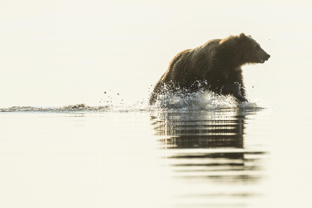 Brown bear running across tidal flat. Alaska.