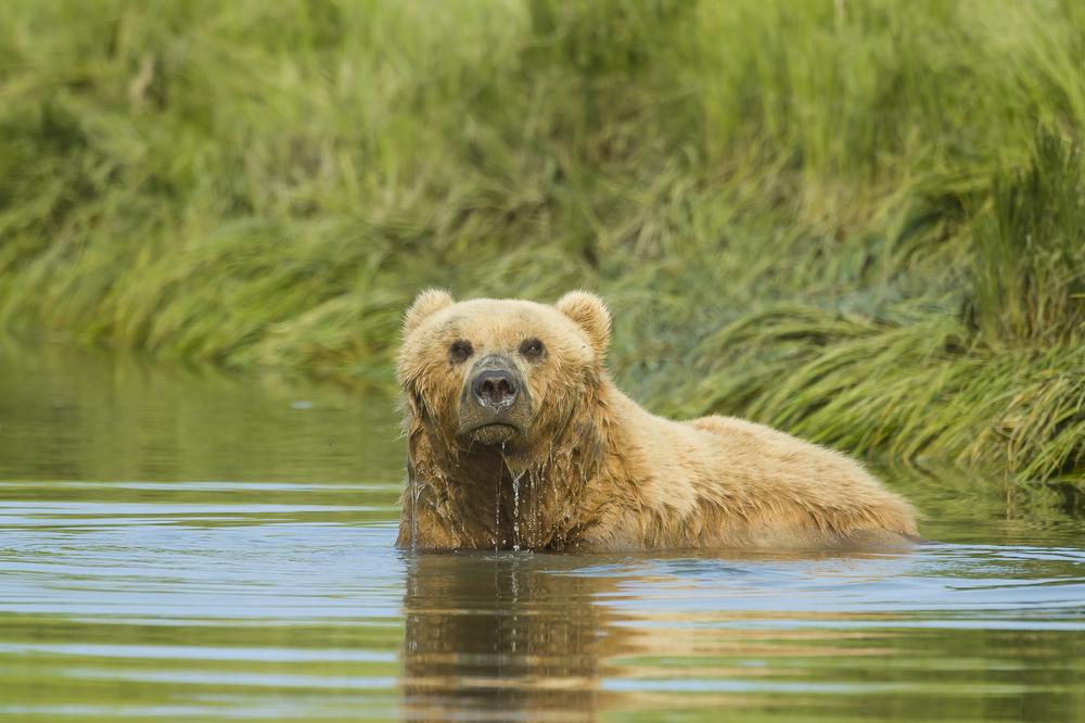 Brown bear bathing. Lake Clark national park, AK