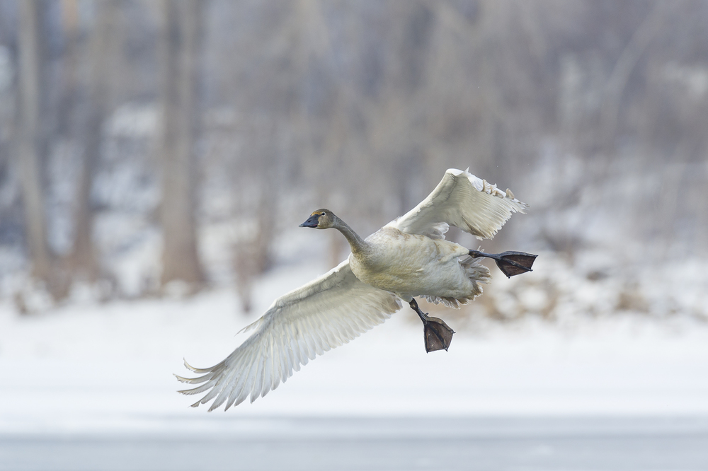 Immature swan landing on the St. Croix River