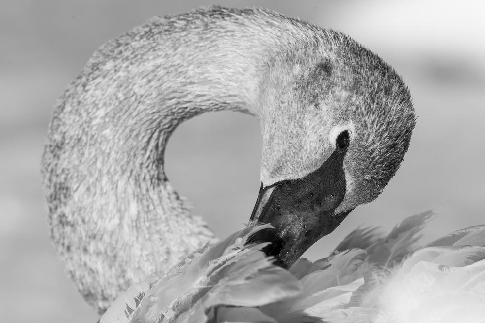 Immature swan grooming