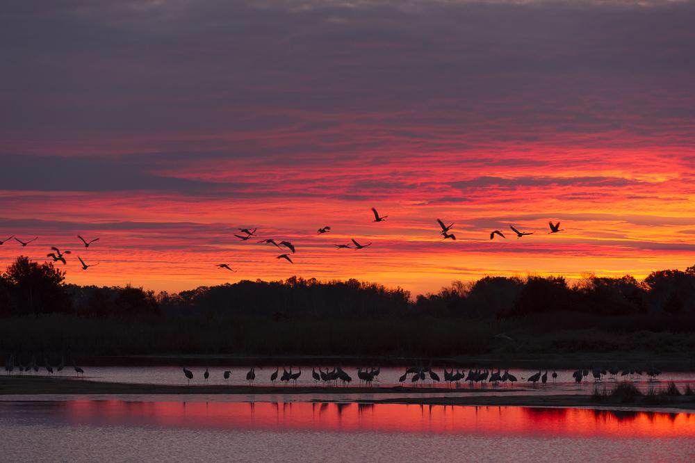 Sandhill cranes lift off at sunrise