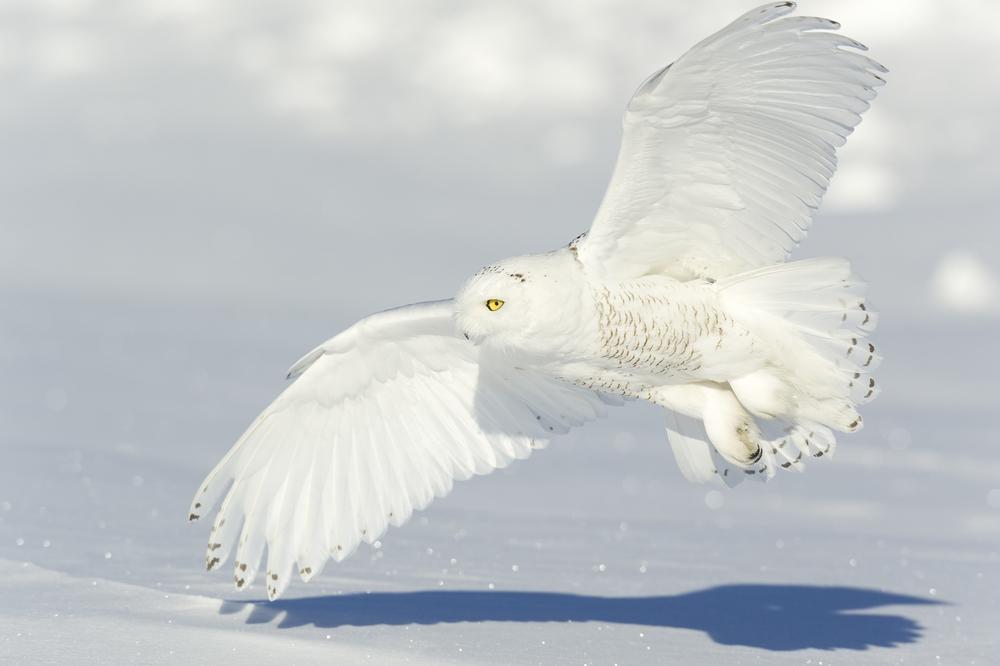 White on white: snowy owl