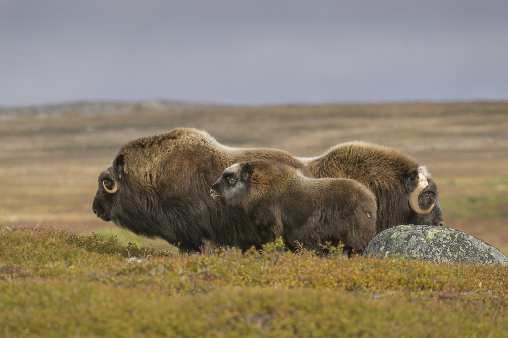 Muskox calf and adults