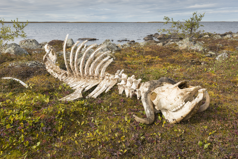 Muskox skeleton. Kaslak Lake, northern Quebec.