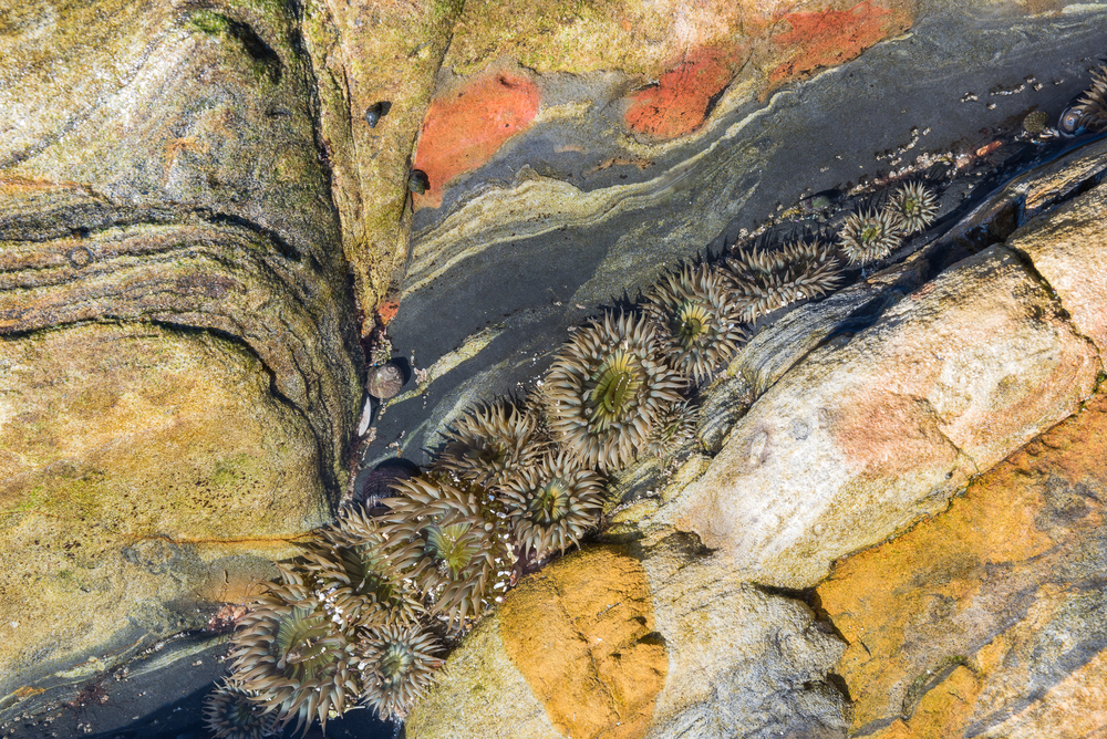 Anemones in tidal pool. Point Lobos Reserve, CA.