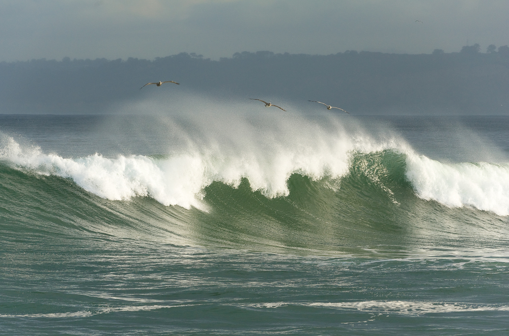 Brown pelicans skimming waves. La Jolla, CA.