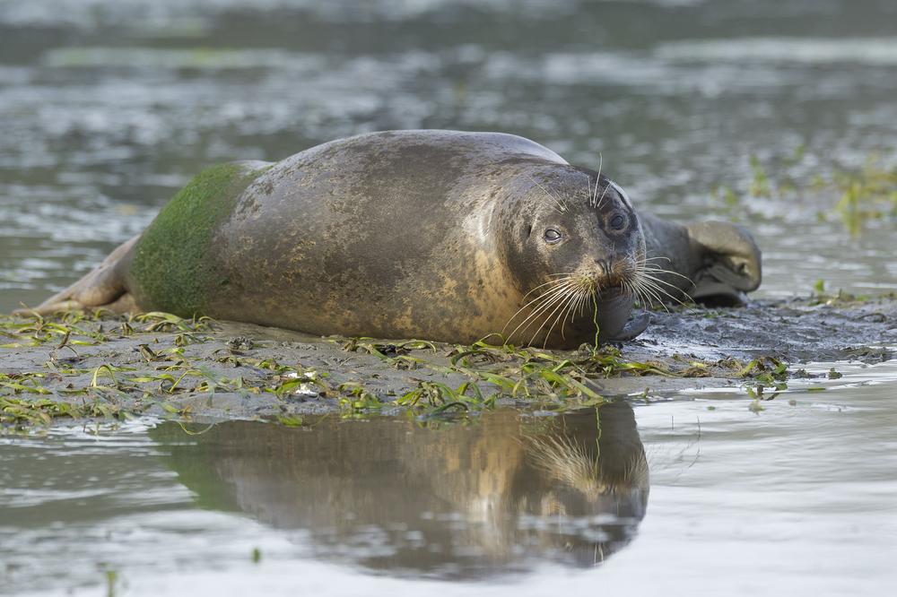 Harbor seals resting on sand bar at low tide