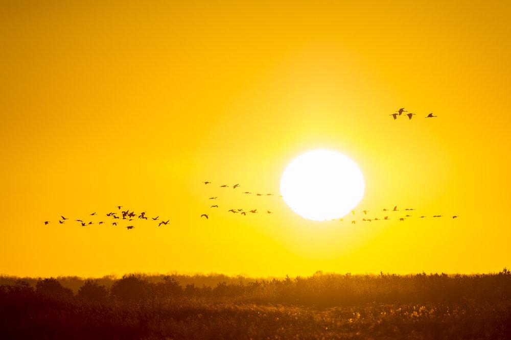 Sandhill cranes against the rising sun. Wisconsin.