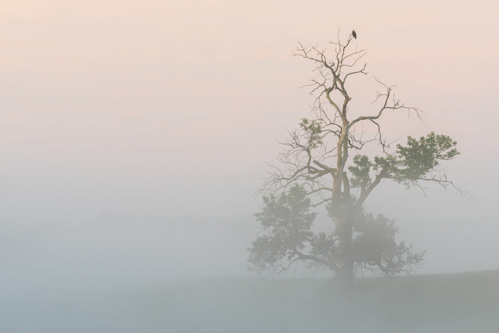 Foggy morning: bald eagle in cottonwood tree