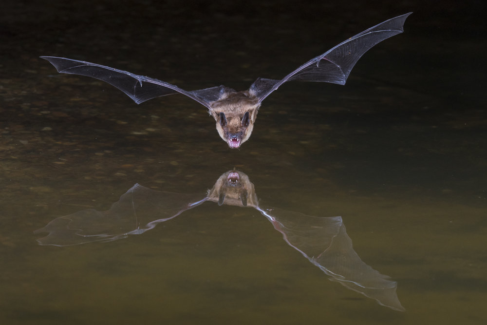 Bat coming in for a drink at Arizona pond.