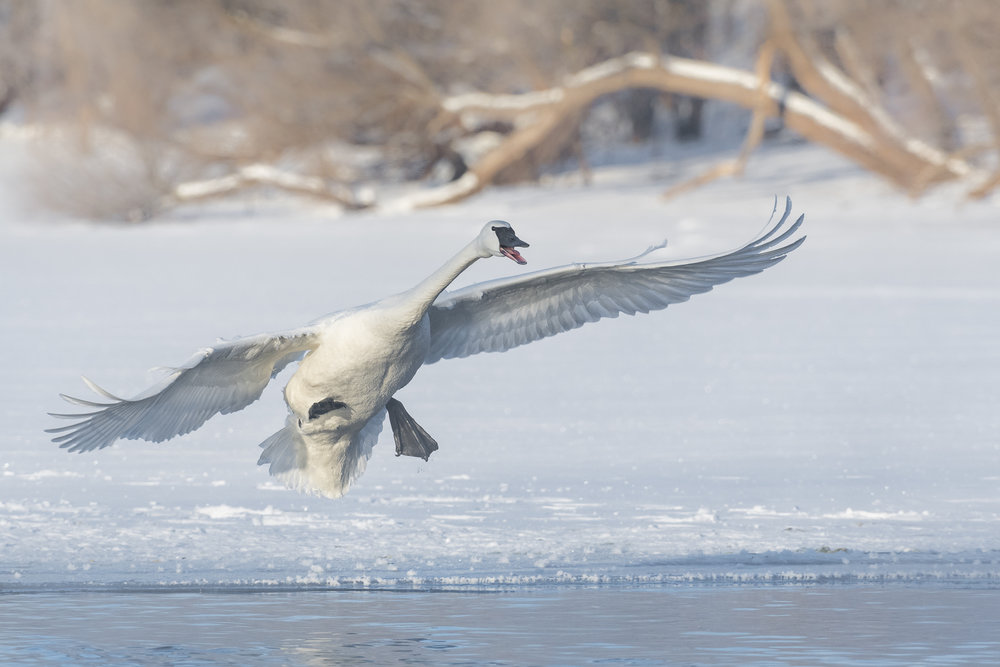 Trumpeter swan landing on partially frozen St. Croix River