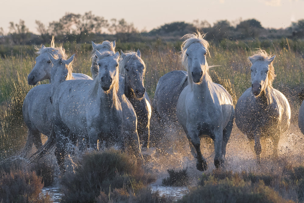 Horses running through tussocks in Mediterranean wetland. Parc naturel régional de Camargue. France.