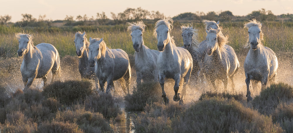 Horses running through tussocks in a Mediterranean wetland. Parc naturel régional de Camargue. France.