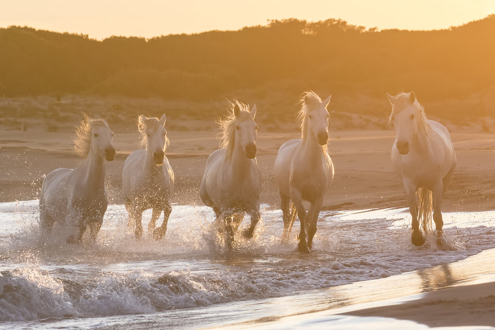 Horses running on a Mediterranean beach at sunset. Parc naturel régional de Camargue. France.