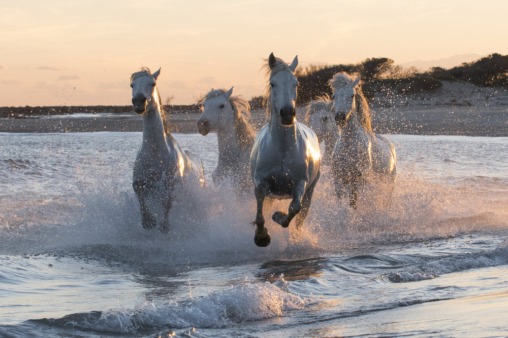 Horses running on a Mediterranean beach. Parc naturel régional de Camargue. France.
