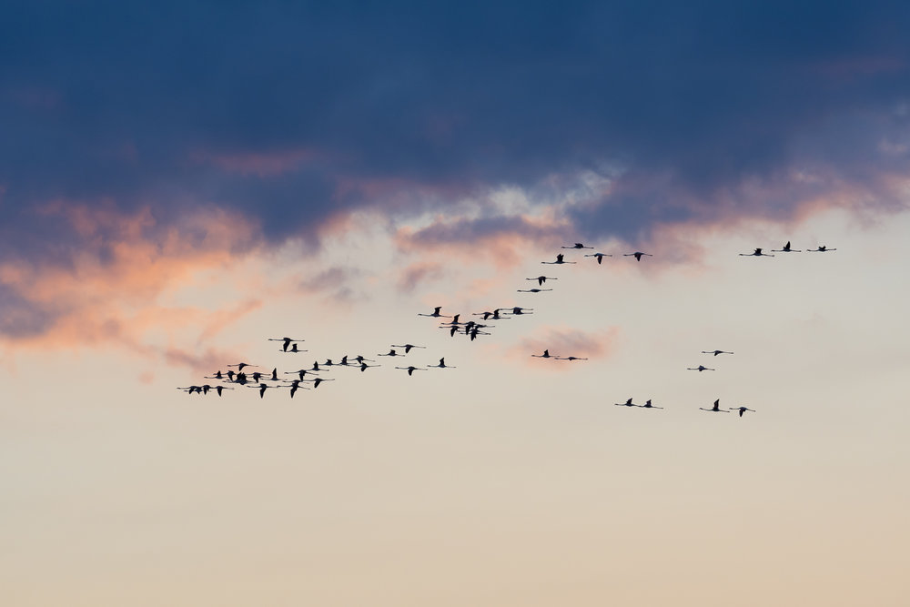 Flamingos flying back to their roost at sunset. Parc naturel régional de Camargue, France.