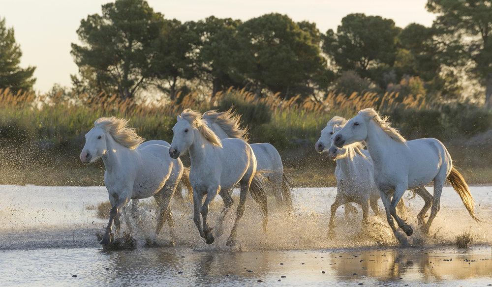 Horses running in Mediterranean wetland. Parc naturel régional de Camargue. France.
