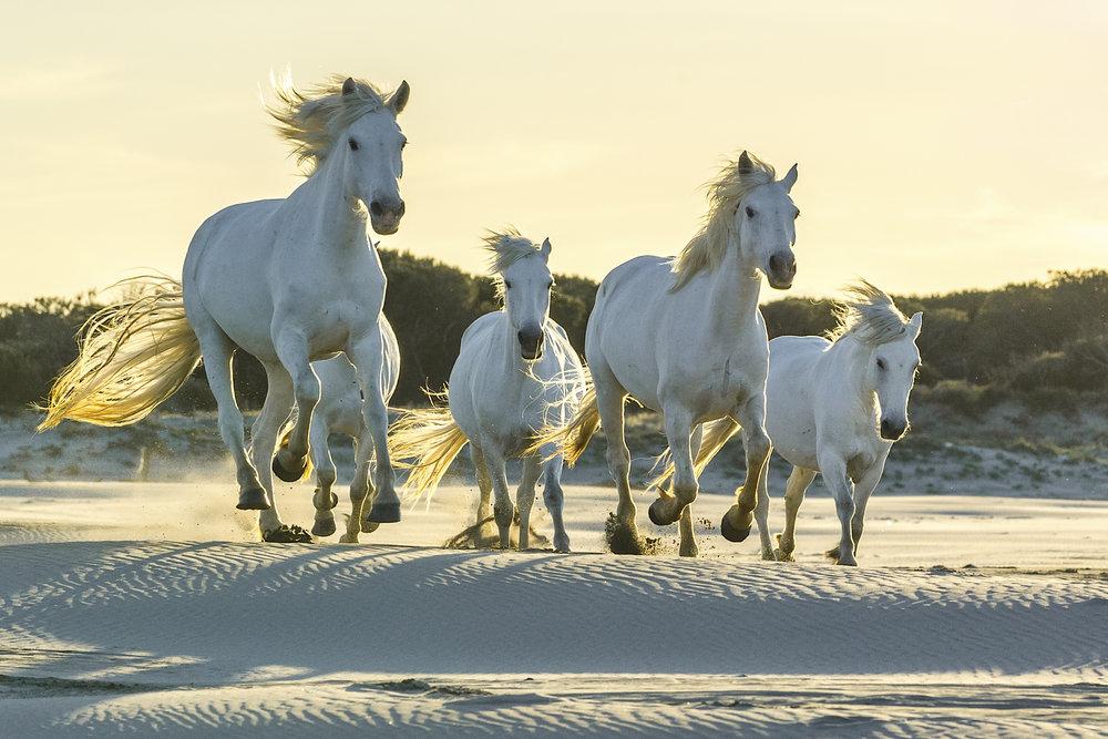 Camargue horses running in sand dunes. Parc naturel régional de Camargue. France.