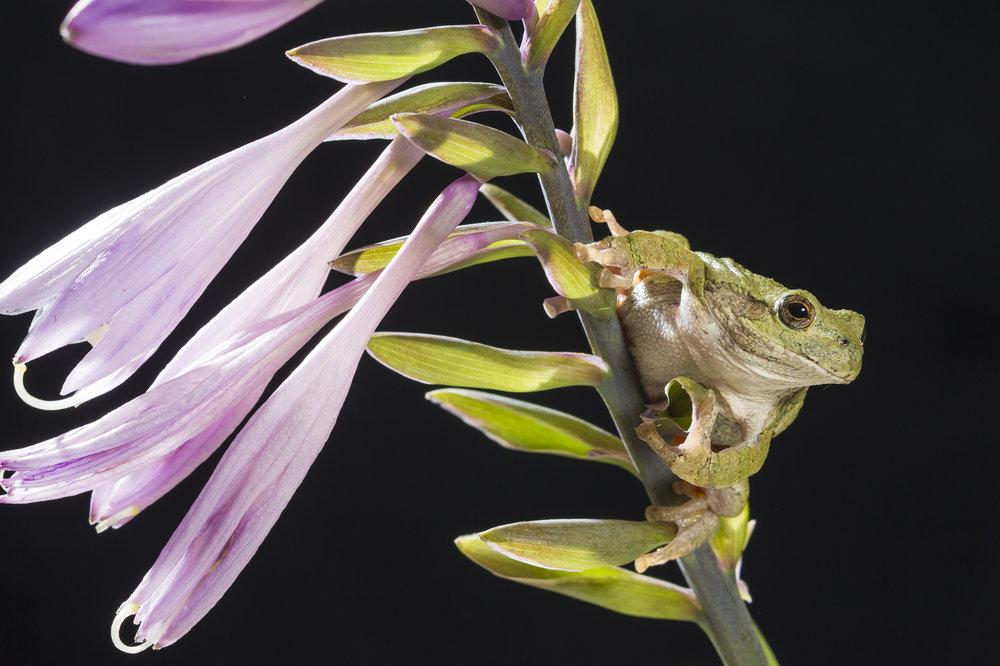 Gray tree frog on hosta