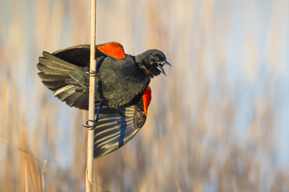Male red-winged blackbird in full territorial display.