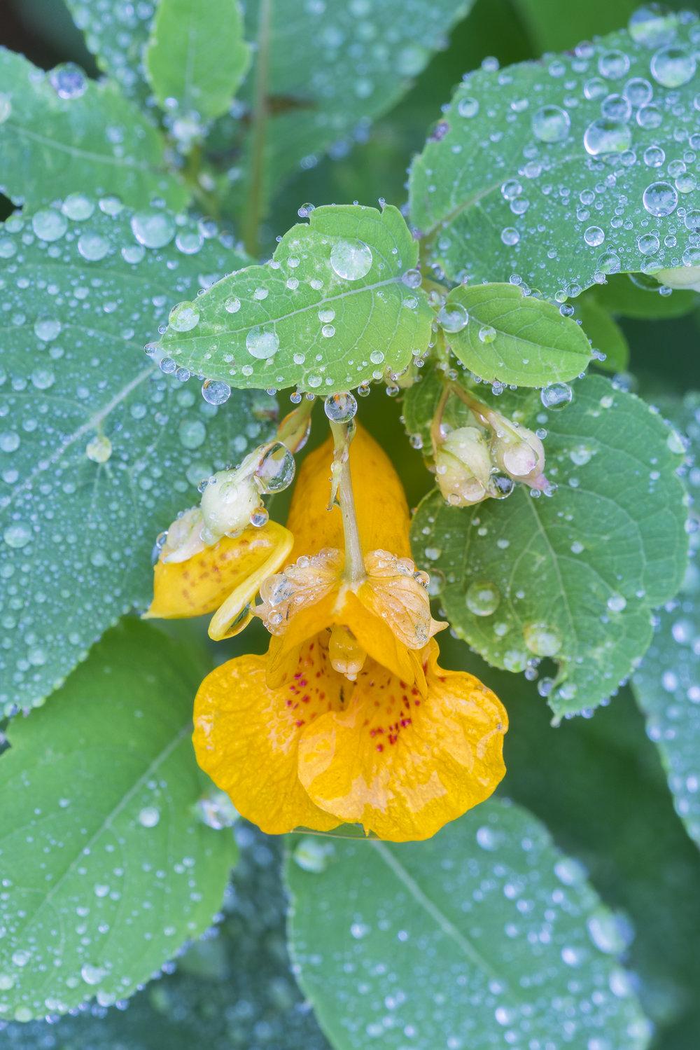 Raindrops on jewelweed