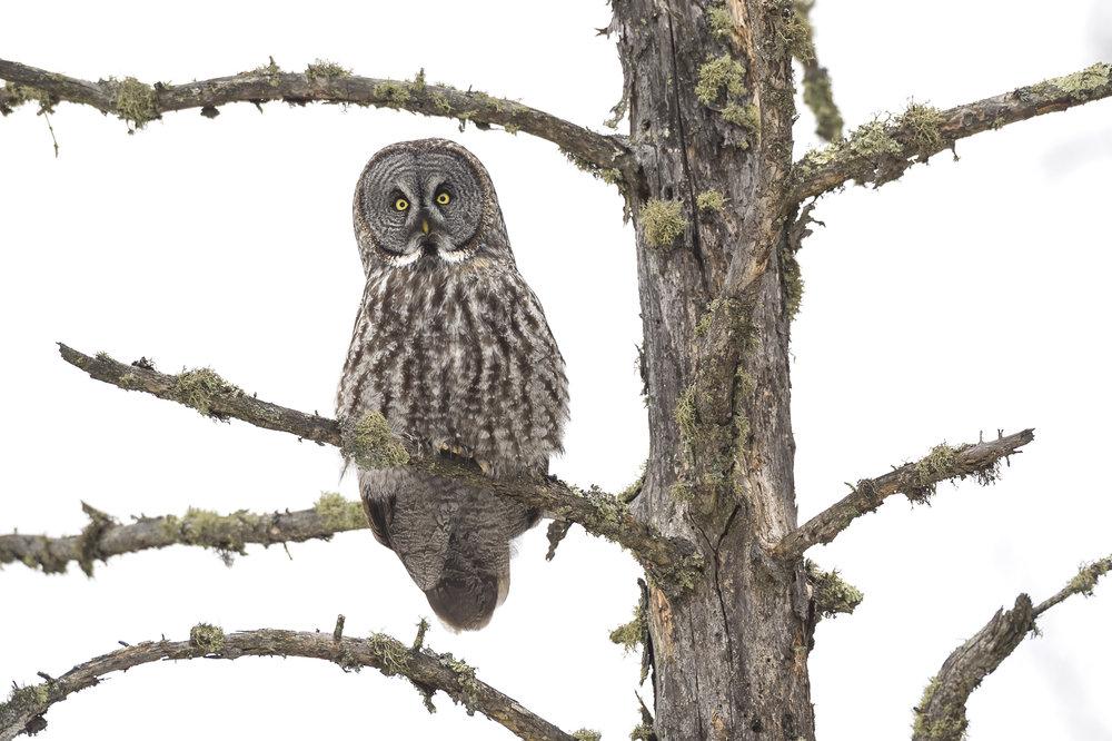 Great Gray Owl on dead spruce