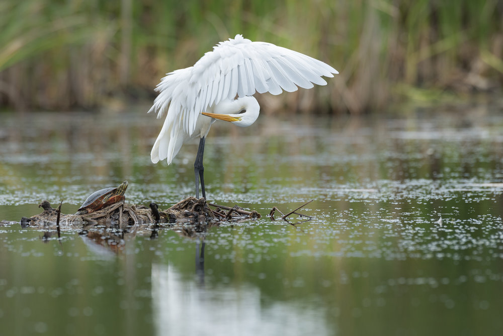 Painted turtle and great egret preening