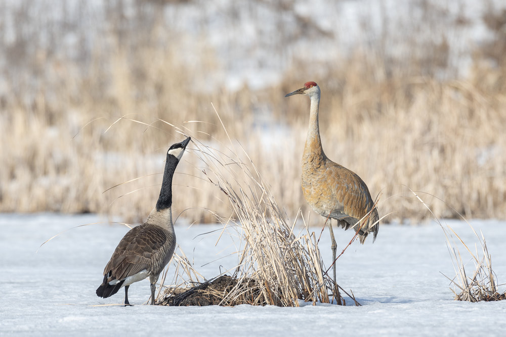 Canada goose and sandhill crane on frozen pond