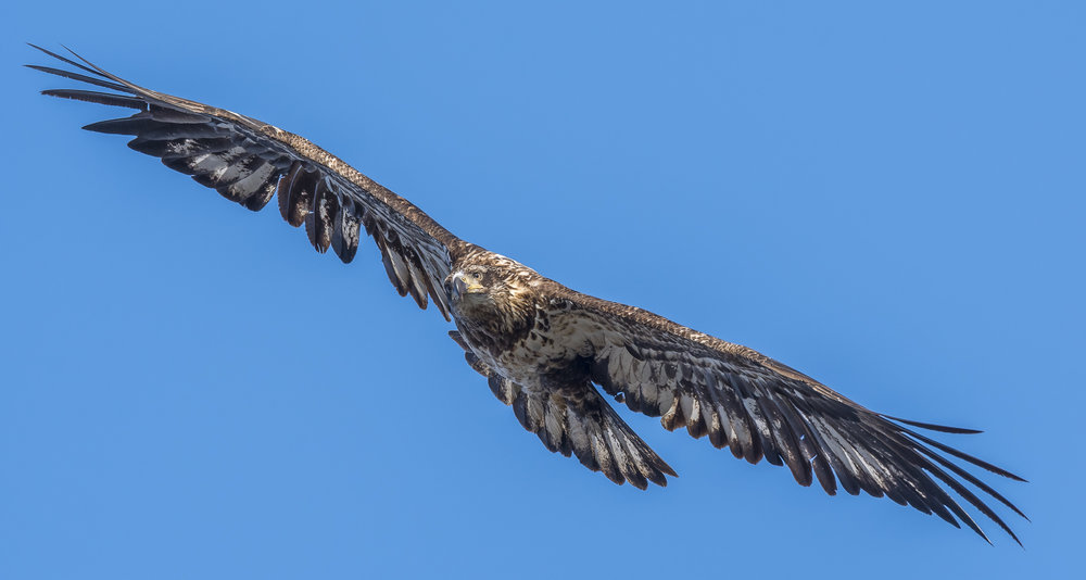 Immature bald eagle banking