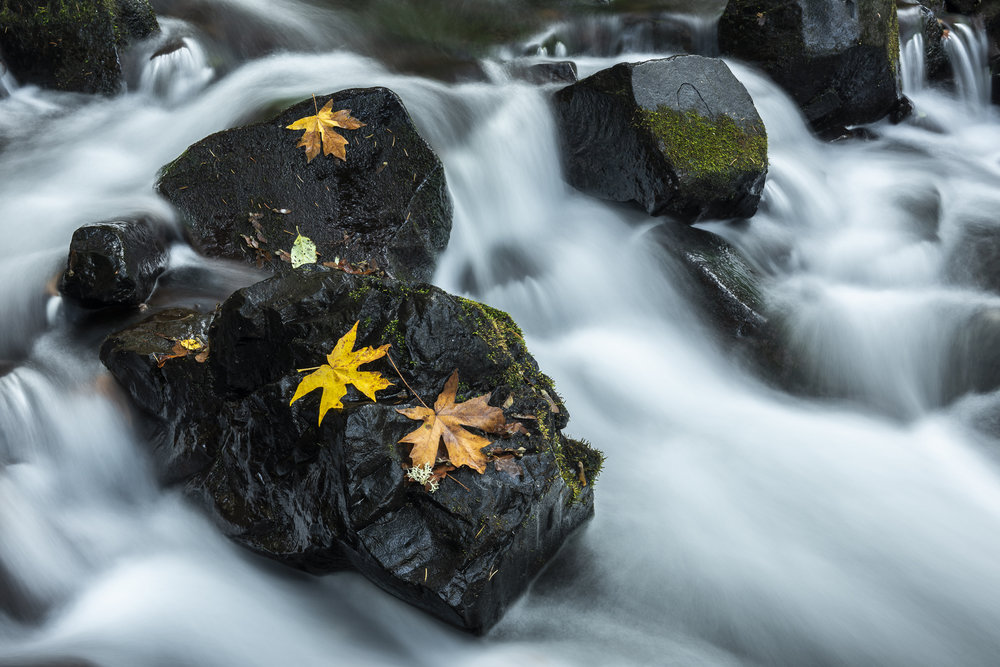 Maple leaves in creek