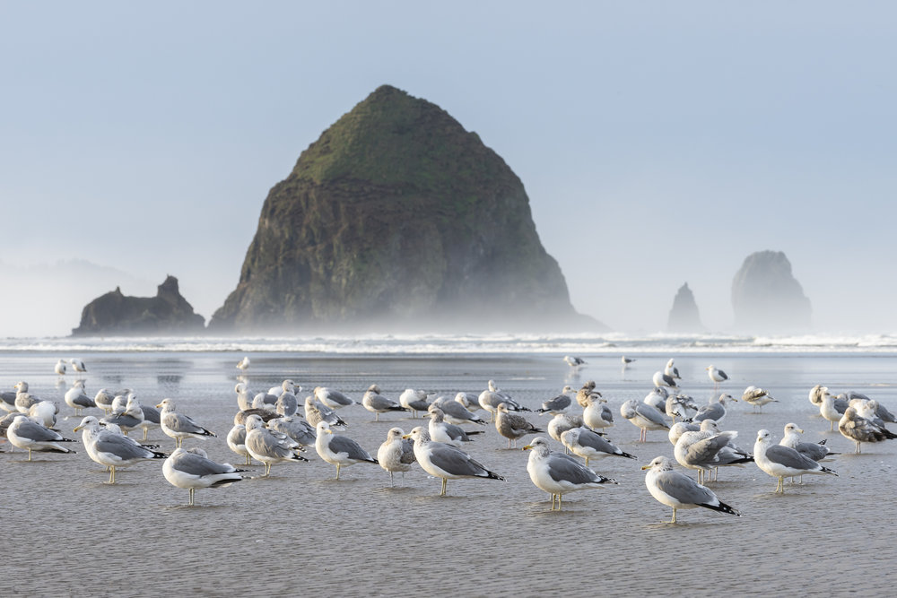 Seagulls and Haystack Rock