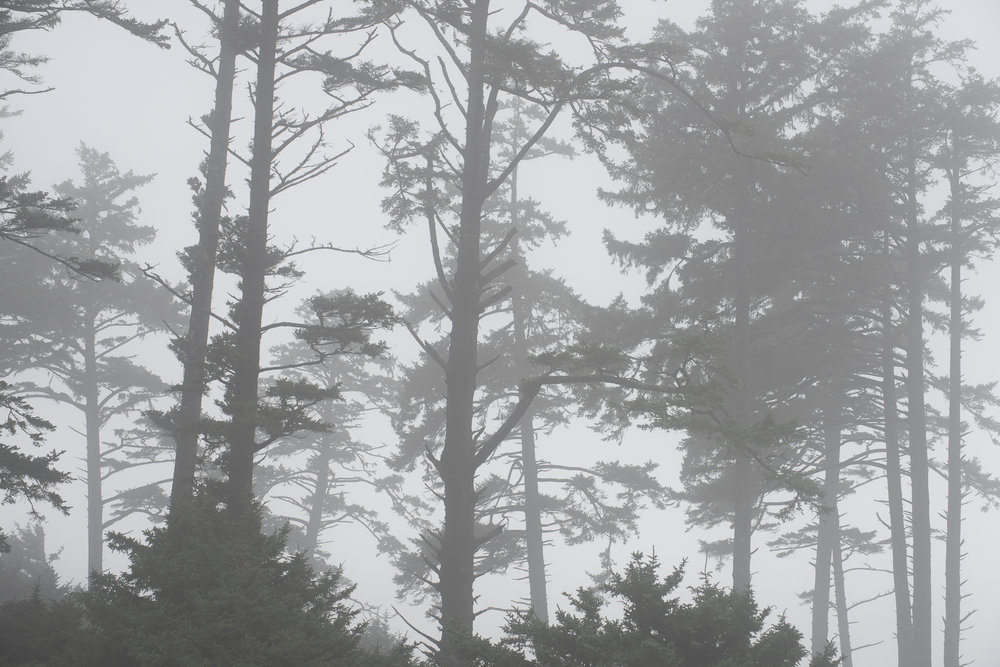 Pines in fog, Ecola SP