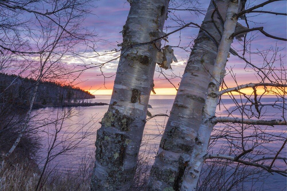 Birch trees: Tettegouche State Park