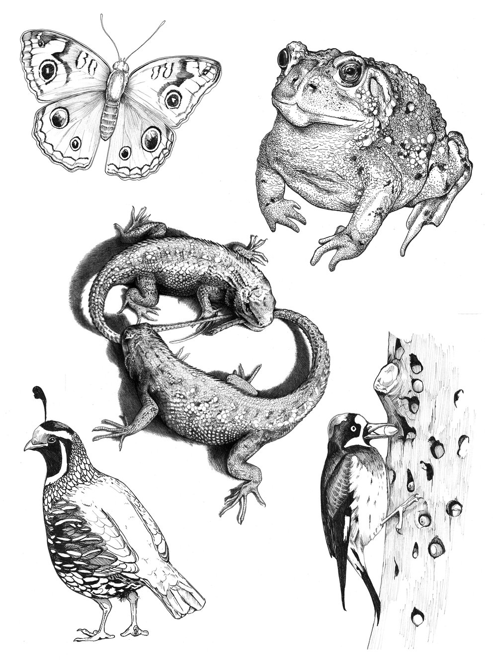 Excerpts From California Junior Illustrator Coloring Book
