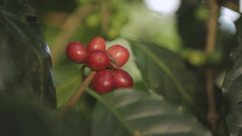 Red Cherrys.jpg