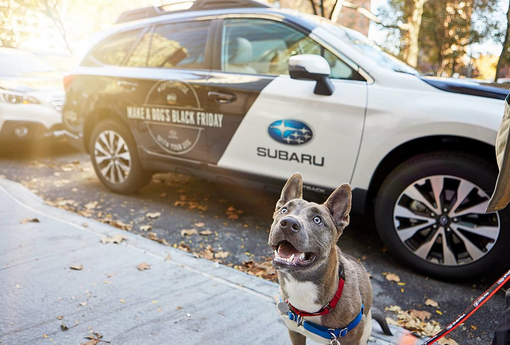 An excited Manhattan ASPCA shelter dog getting ready to jump into a Subaru Outback to head to Bear Mountain State Park in Upstate New York.