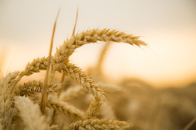 https://pixabay.com/en/wheat-sunset-harvest-fruit-fact-867608/