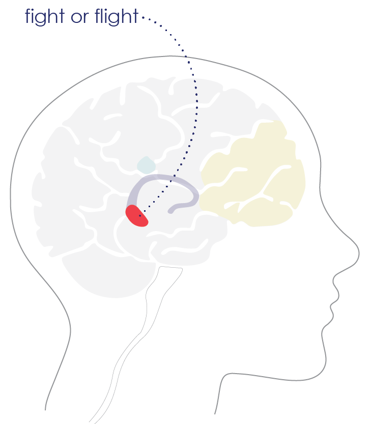 brain diagram_amygdala.png