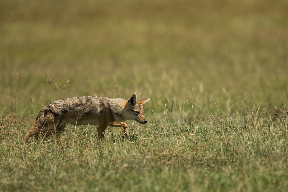 Golden or Common Jackal