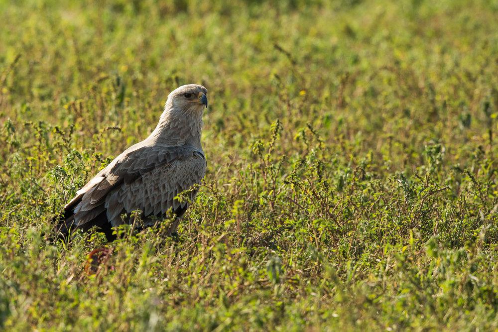 Imm. Tawny Eagle