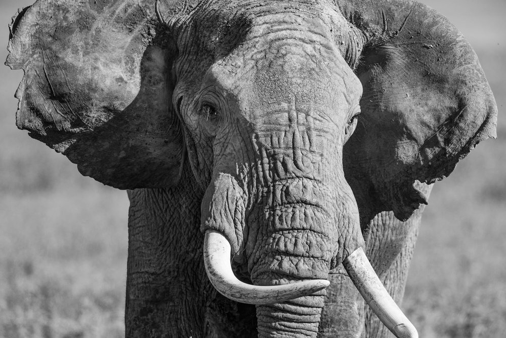 Male African Elephant