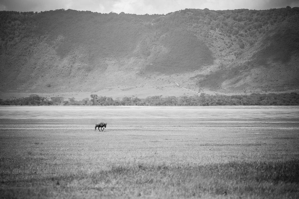 A lone Wildebeest bull