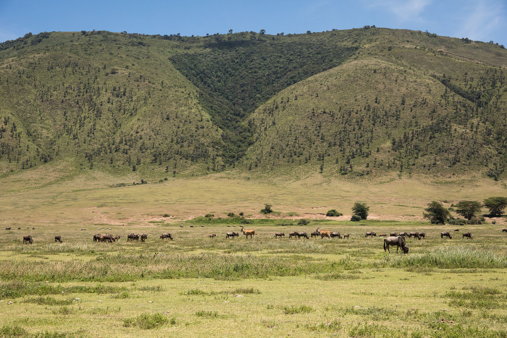 Small group of Wildebeest & Eland
