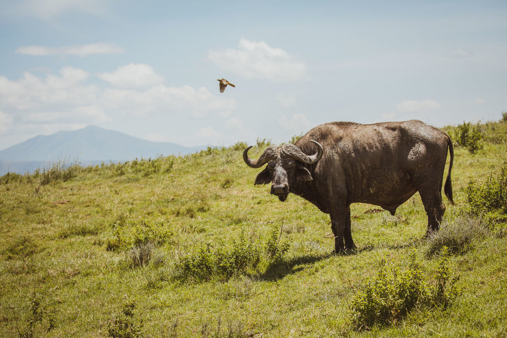 Cape Buffalo & Yellow-billed Oxpecker