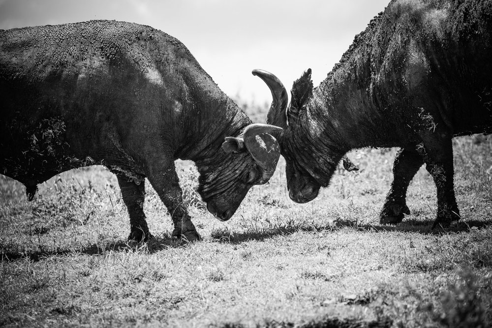 Cape Buffalo sparring