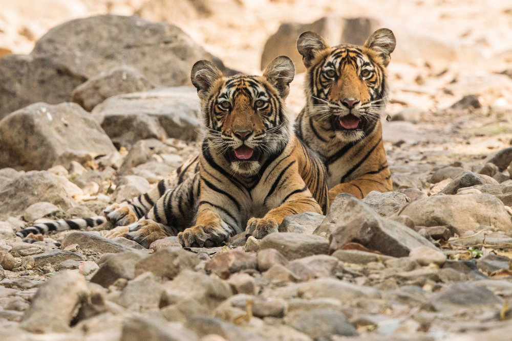 tiger uk photographer-134.jpg