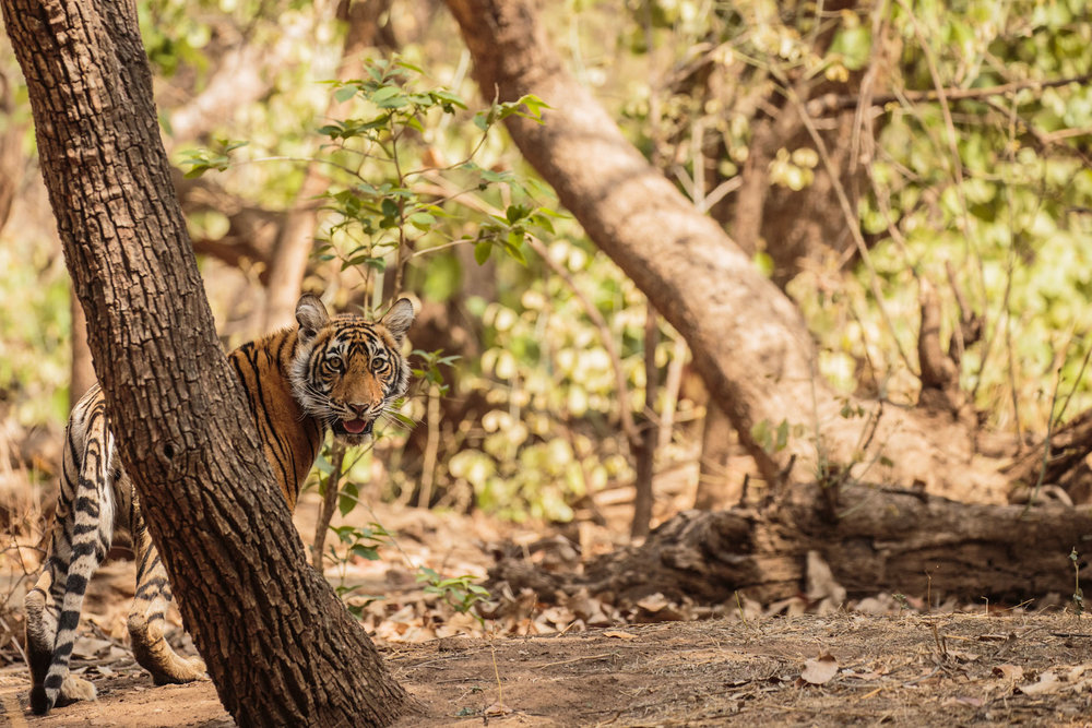 tiger uk photographer-144.jpg