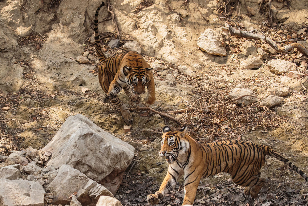 tiger uk photographer-146.jpg